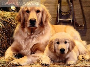 Пёс, собака и щенок. Собака – это самое первое прирученное человеком животное. Произошло это 14 тысяч лет назад. Сейчас существуют сотни различных пород собак, причём, не только декоративных. Собаки бывают охотничьи, сторожевые, пастушьи, служебные и др. Детёныши собаки называются щенками. Папа щенка называется пёс.