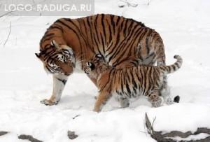 Тигр, тигрица и тигрёнок